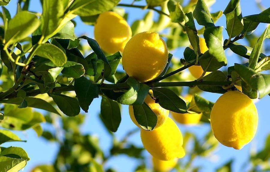 Colomba Candore ai limoni di Scicli